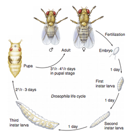 how did the drosophilia melanogaster impact Drosophila melanogaster high impact list of articles ppts journals 5993.